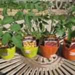 夏野菜の苗購入