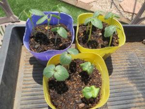 収穫 時期 オクラ オクラの育て方と栽培方法は?