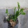 多年草のハヤトウリ 昨年植えたところから新たな芽が出てきました