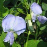 【緑のカーテン】 家庭菜園おすすめの品種|ゴーヤ、シカクマメなど