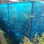 これで万全!ブルーベリーの鳥よけ防鳥ネットハウスの作り方|DIY防虫