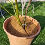 ブルーベリー コガネムシの幼虫 オススメ対策|ヤシガラマット、寒冷紗の利用