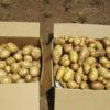 ジャガイモの収穫 男爵、メークイン
