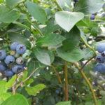 ハイブッシュブルーベリー 収穫始まりました