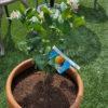 サイパンレモンの栽培 苗を買いました|鉢栽培