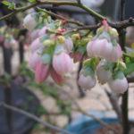 【家庭菜園向け】初めてでも簡単に栽培できるブルーベリーのおすすめ品種。ラビットアイ編。
