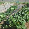 ミニカボチャの空中栽培の様子