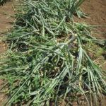 タマネギの2本植え栽培の収穫結果