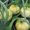 ミニカボチャの空中栽培の様子。栗坊、プッティーニが着果。