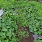サツマイモのべにはるか 追加の植え付け