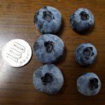 ハイブッシュ ブルーベリーの収穫が最盛期。チャンドラー、レカ。