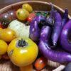 ミニトマト トスカーナバイオレット収穫。桃太郎ゴールド、アイコも。