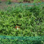 小玉スイカ マダーボールの収穫時期の見分け方