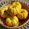 ミニカボチャのプッチィーニの収穫