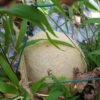 【メロンの空中栽培】サンライズメロンの収穫