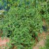 【家庭菜園 ミニトマト】 挿し芽のアイコの成長