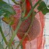 【空中栽培】メロンにネットかけ
