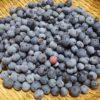 ブルーベリーの収穫|ラビットアイ系が最盛期、バルドウィン、ブライトウェル、パウダーブルー他