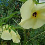 花オクラの収穫