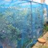 お庭でブルーベリー狩り。ラビットアイ系が収穫時期です。