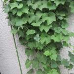 【緑のカーテン】ハヤトウリとゴーヤの様子