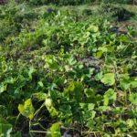 【市民農園】カボチャの収穫と小玉スイカ最後の収穫
