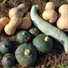 自家採種してまいたバターナッツかぼちゃの形が変! 宿儺カボチャが交雑?