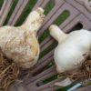 ニンニクの栽培方法(ジャンボにんにく、ホワイト6片)