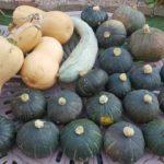 カボチャの収穫祭