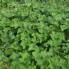 ハヤトウリ栽培:花が咲き始めました|収穫時期は?