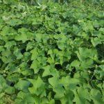 ハヤトウリの収穫 今週は29個|料理方法