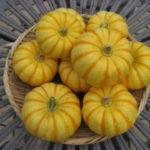 カボチャの植え付け|空中栽培|栗坊、プッチィーニ、バターナッツ