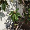 鉢栽培のビワがコガネムシの幼虫の被害