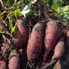 サツマイモ「紅はるか」収穫|焼き芋にするならコレ!安納芋と同じねっとり系