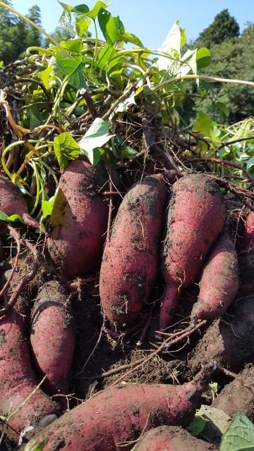 収穫 時期 サツマイモ