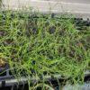 玉ねぎのセルトレイ苗の様子|ネギコガが少し発生