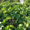ハヤトウリの収穫。今週は6個(通算49個)|皇帝ダリアが開花
