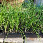 タマネギの苗の植え付け|セルトレイ苗、2本植え栽培