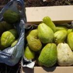 ハヤトウリ最後の収穫|1株からトータル82個の収穫|料理