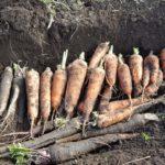ニンジンの保存方法|家庭菜園で採れすぎても安心|長持ちさせるコツ