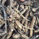 ヤーコンの収穫|ヤーコンの食べ方、効能|健康野菜