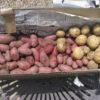 今年栽培するジャガイモの品種|休眠期間と貯蔵性、特徴|カラフルポテト