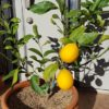 【鉢栽培】サイパンレモン 2つ収穫