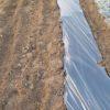 ジャガイモの植え付け|マルチ栽培