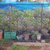ブルーベリー開花中|コガネムシの幼虫対策チェック|防鳥ネットハウスでの栽培