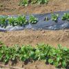 ジャガイモ 生長の様子|芽かき、土寄せ|マルチ栽培