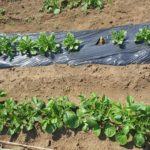 ジャガイモの芽かき、追肥、土寄せ