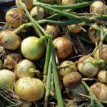 早生タマネギの収穫。小さいタマネギばかり・・・