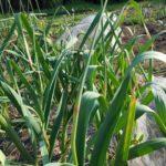 にんにくの芽の収穫。今年は早い。