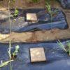 【家庭菜園】スイカの生長の様子|ウリハムシ対策 わらイラズを敷く